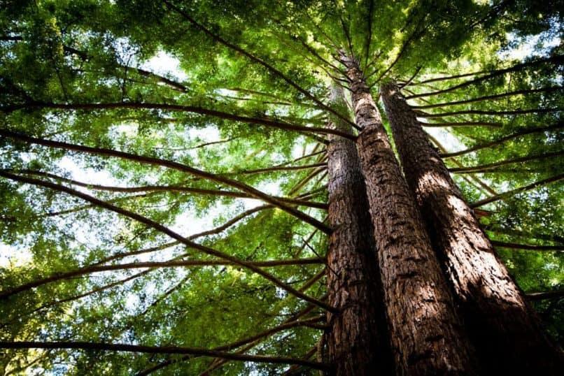 redwood trees UC santa cruz