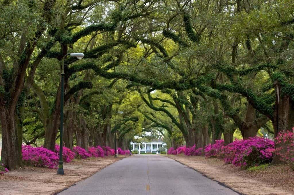 spring hill college avenue azaleas