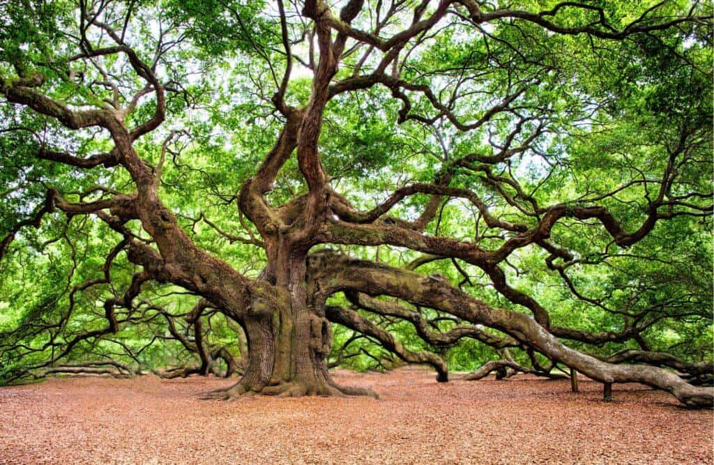 angel oak charleston south carolina