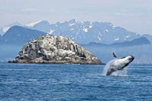 humpback whale Alaska 300x200