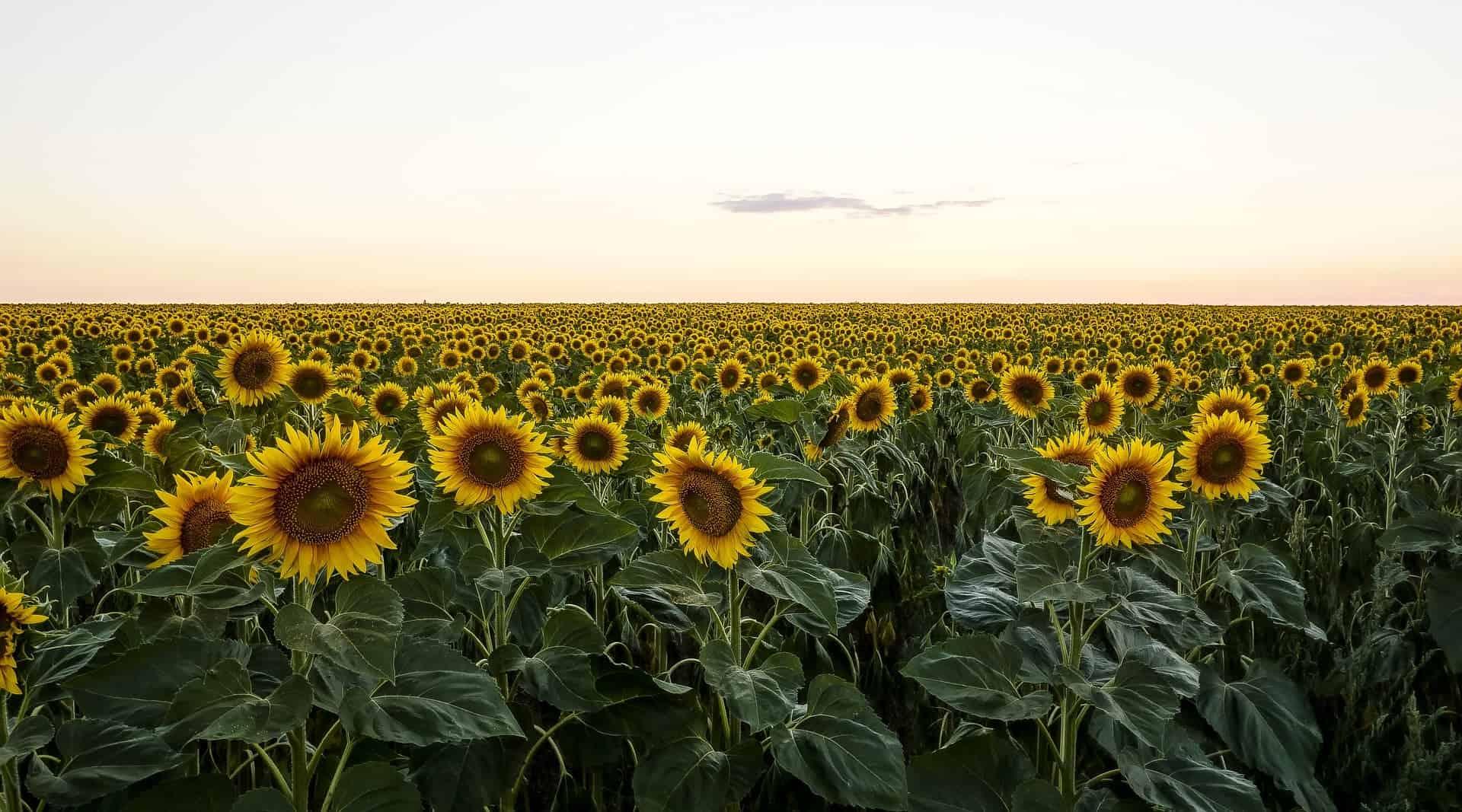 sunflower kansas