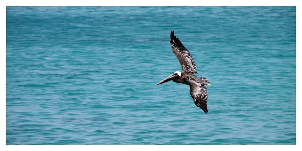 brown pelican louisiana