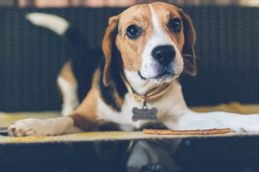 relaxed beagle mutt